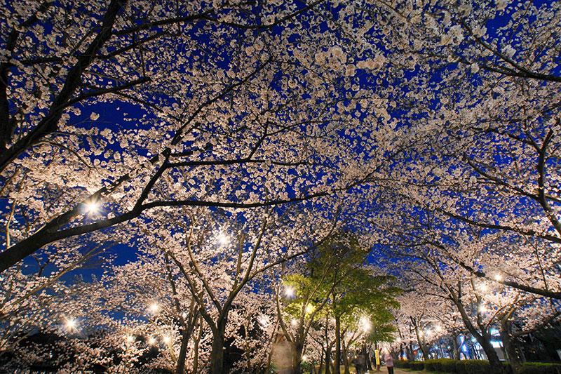 桜のライトアップ ライトアップされた桜