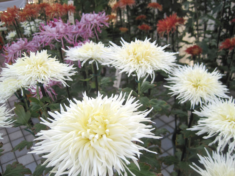 変わり菊まつり 菊の写真