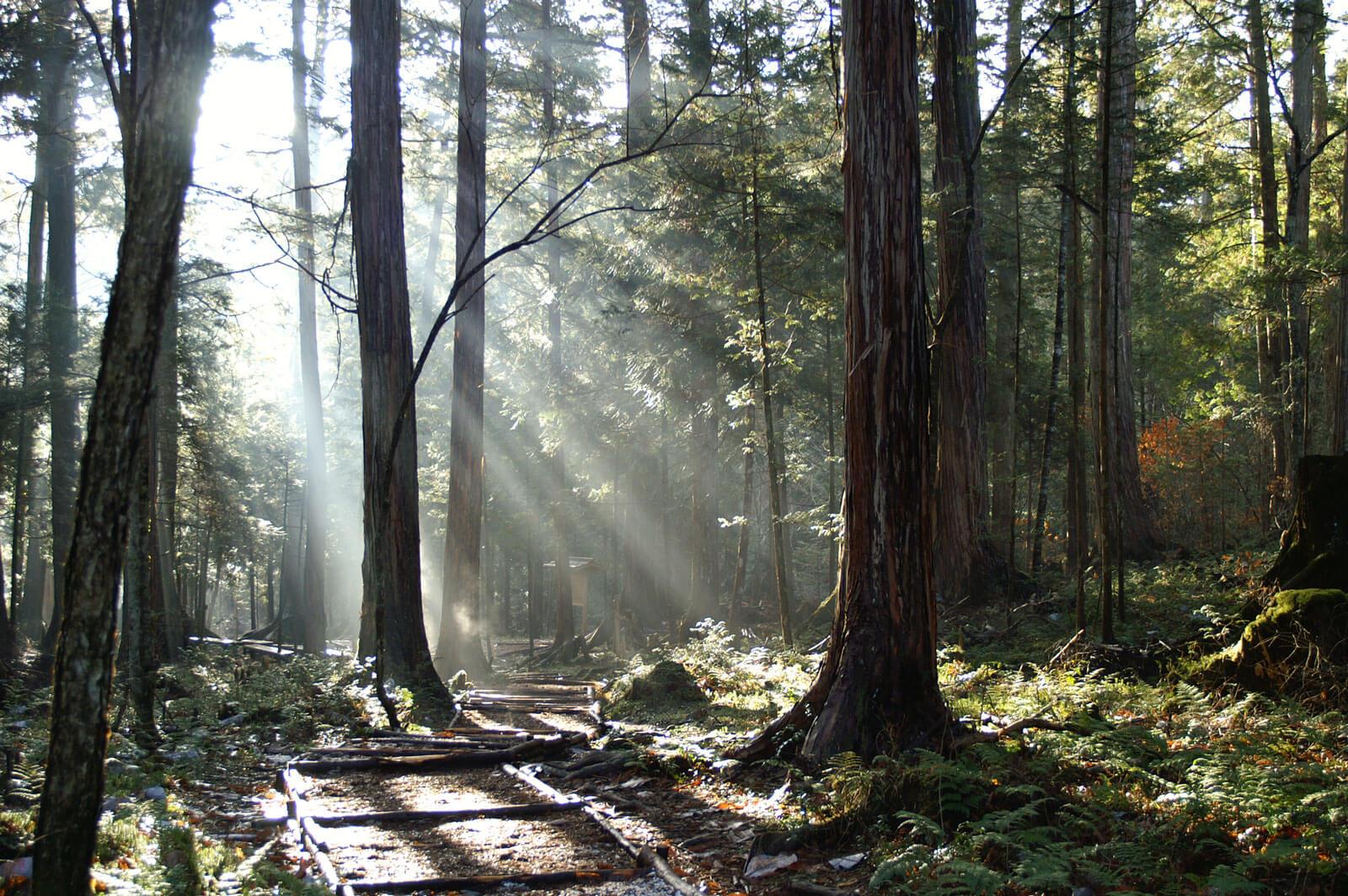 赤沢自然休養林 木漏れ日が差し込む森林の様子